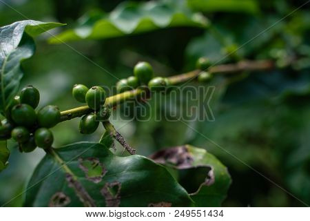 Cherry Green Coffee Beans Are Also On The Tree.