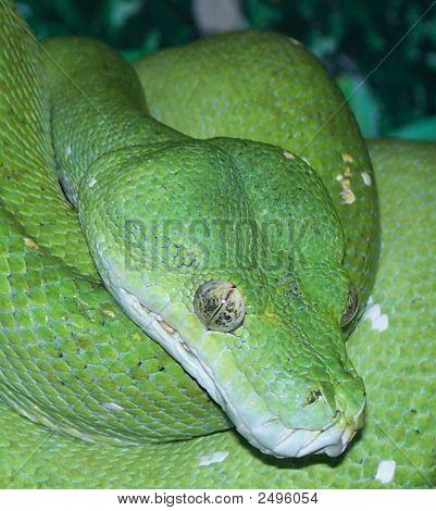 Green Treesnake 3