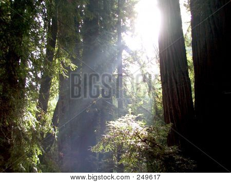 Sunshine Amongst The Redwoods