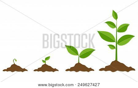 Phases Plant Growing. Planting Tree Infographic. Evolution Concept. Sprout, Plant, Tree Growing Agri