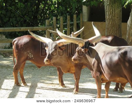 Watusi Cow Its hallmark is its huge horns on a normal head for a ox poster