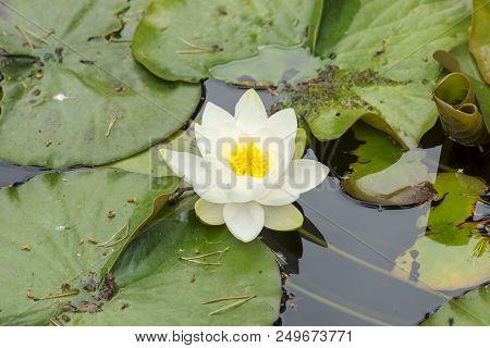 Beautiful White Lotus Flower On A Lake