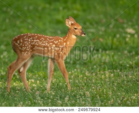 A White-tailed Deer Fawn With Spots  In An Meadow In Summer.