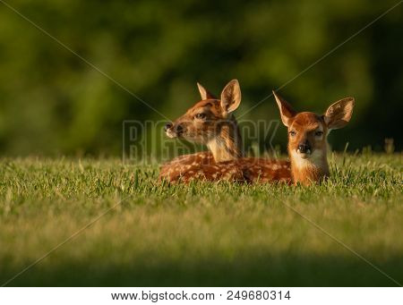 Two White-tailed Deer Fawns