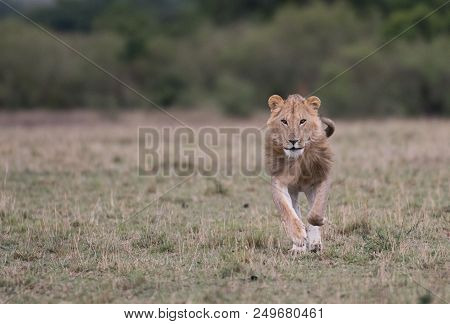 A Male Lion Standing Next To The Carcass Of An Animal In Masai Mara Game Reserve, Kenya