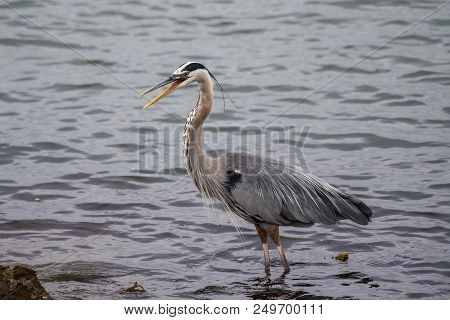 Great Blue Heron Wading In Shoreline Water Of Lagoon Screeching With Open Beak.