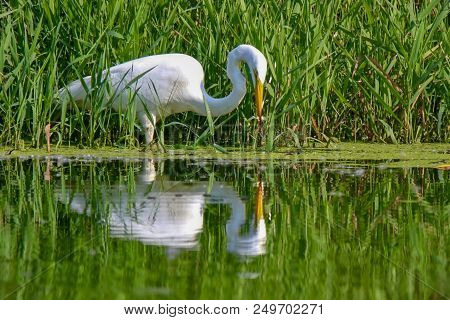 Closeup, Great Egret, Isolated, Looking Down At Its Reflection In The Water On A Lake
