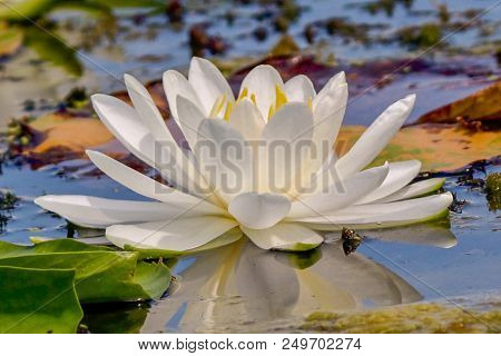 Beautiful Close-up Of A Glorious White Water Lily On A Lake With Colorful Background