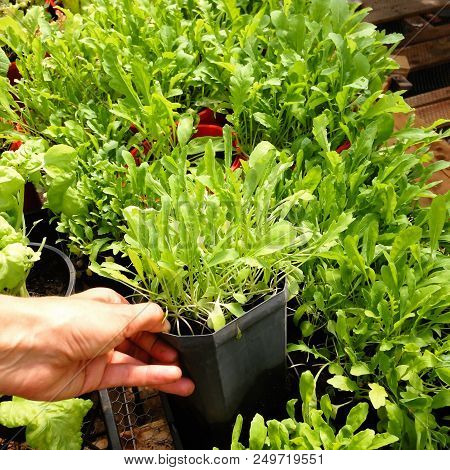 Garden Nursery: Hand Holding Plastic Plant Pot Of Organic Arugula Or Rocket - Also Known As Rucola,