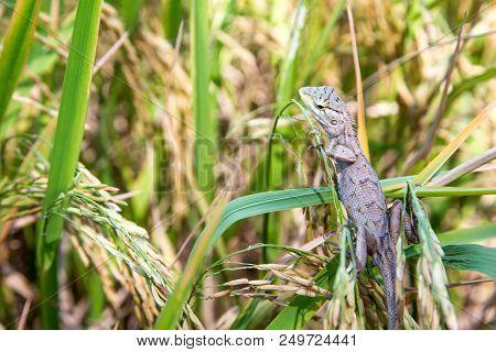 Close Up Shot Lizard Hiding On Rice Field