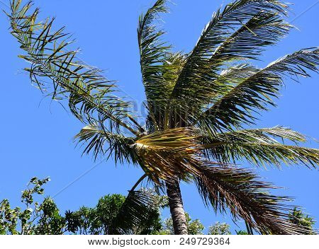 Palm Tree With Blue Sky Background On A Sunny But Windy Day.