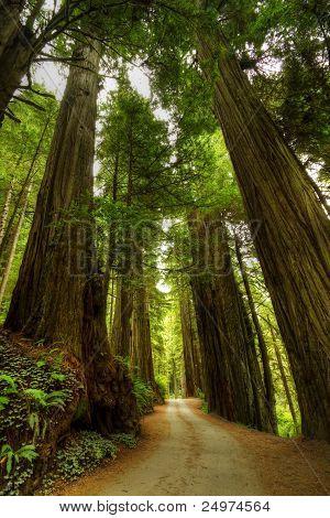 Redwood Tree Trail