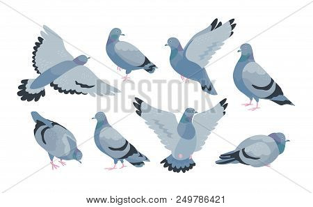 Collection of grey feral pigeon in various poses - sitting, flying, walking, eating. City or synanthrope bird isolated on white background. Colorful vector illustration in flat cartoon style poster