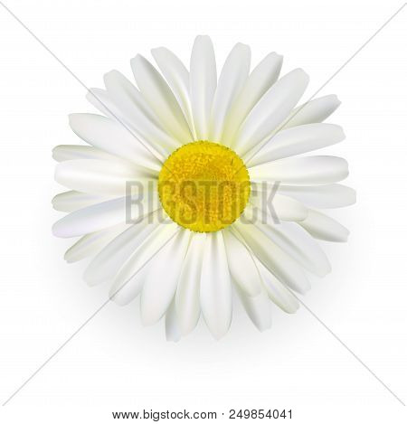 Camomile, Beautiful Daisy Flower With Light Petals Isolated On White Background.