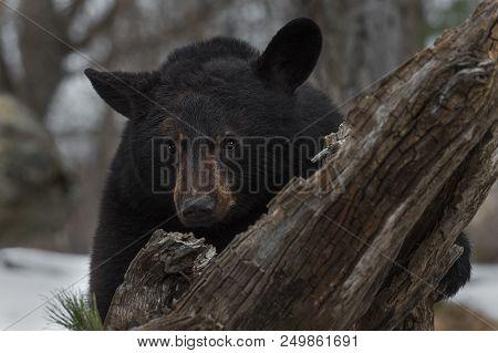 Black Bear (ursus Americanus) Looks Over Log - Captive Animal