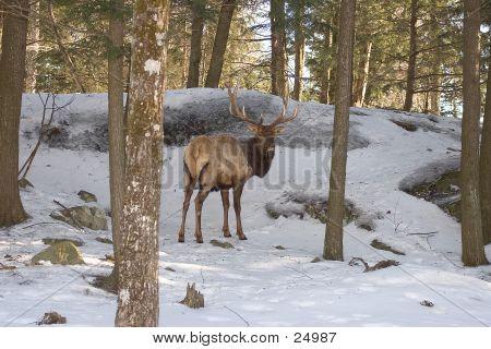 Elk Looking Back