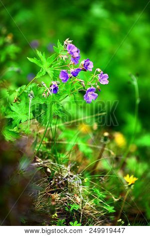Small Blue Wild Flower In Iceland Close Up