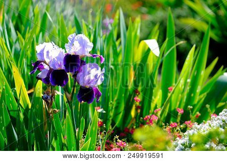 A Single Blue Iris Flower In A Garden With Other Flowers