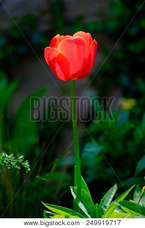 A Single Red Tulip Against A Dark Background