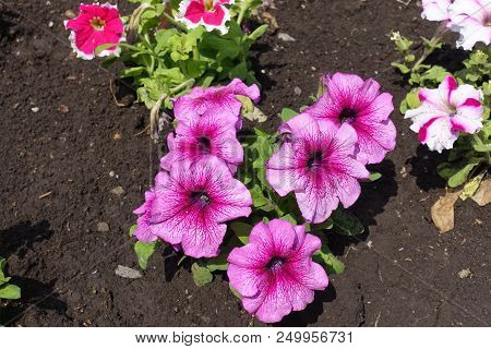Florescence Of Pink Petunias In Mid May