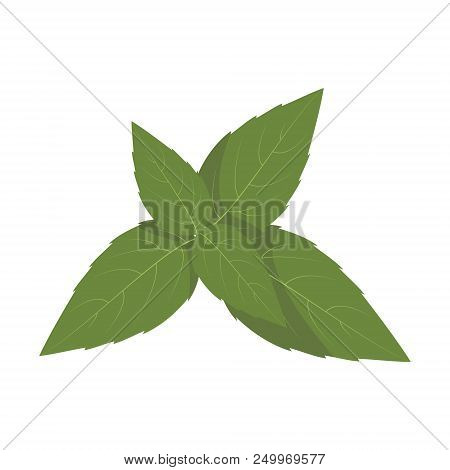 Vector Basil Illustration Isolated In Cartoon Style. Herbs And Species Series
