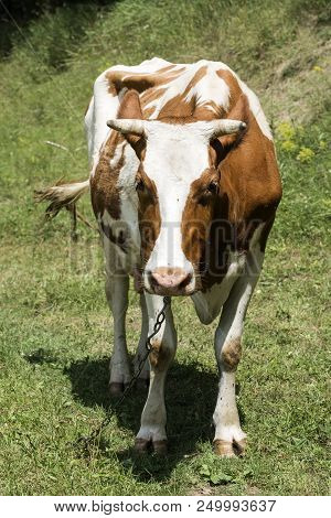 Cow Is Grazing In A Meadow.. Hundreds Of Flies And Horseflies Fly Around (bos Taurus Taurus)