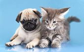 kitten Maine Coon and puppy pug