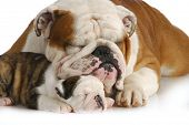 dog family - english bulldog father and daughter sleeping on white background poster