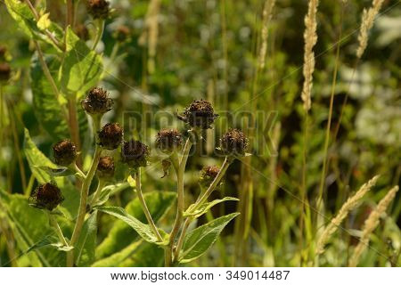 Helianthus Mollis In Front Of Blurry Background, Ashy Sunflowers In Late Summer With Brown Dried Pet