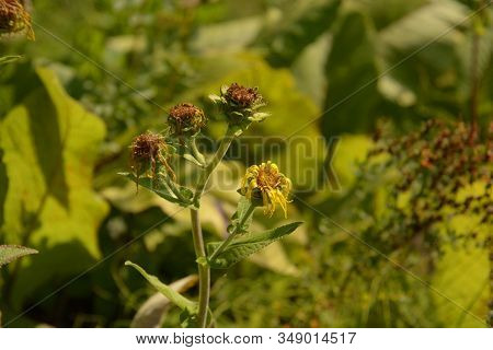 Ashy Sunflowers In Late Summer With Brown Dried Petals, Helianthus Mollis Autumn Colored With Hairy