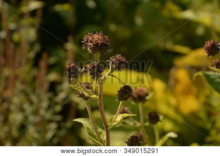 Brown Helianthus Mollis Autumn Colored, Ashy Sunflowers In Late Summer With Brown Dried Petals