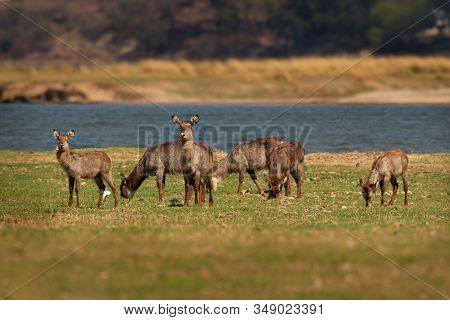 Waterbuck - Kobus Ellipsiprymnus  Large Antelope Found Widely In Sub-saharan Africa. It Is Placed In