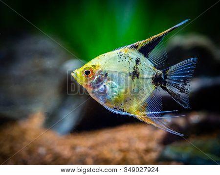 Angelfish Isolated In Tank Fish (pterophyllum Scalare)