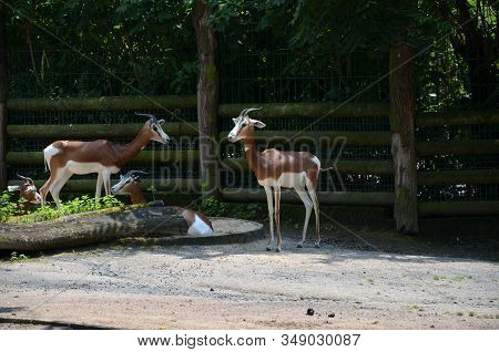 Dama Gazelle (nanger Dama) In The Frankfurt Zoo