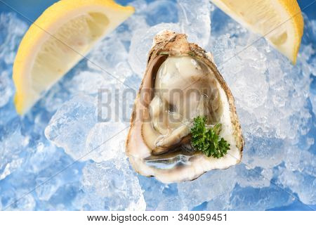 Fresh Oysters Seafood On Ice Background / Open Oyster Shell With Herb Spices Lemon Parsley Served Ta