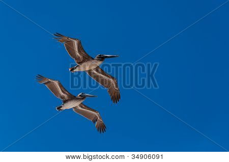 Pelicans Flying In Formation