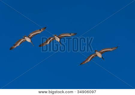 Three Pelicans Flying In Formation