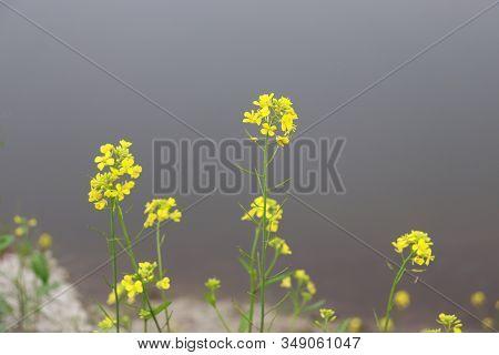 Mustard Flower. Beautiful Yellow Mustard Flower In River Backgrounds