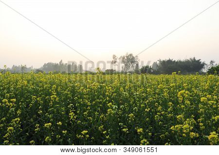 Yellow Mustard Flower In The Fields And Sky