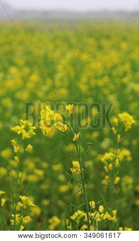 Lots Of Yellow Mustard Flower In The Fields