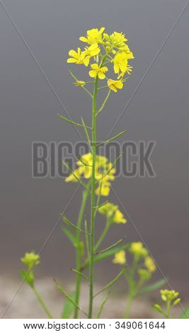 Beautiful Yellow Mustard Flower And River Backgrounds