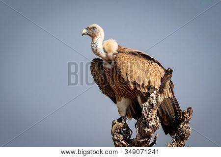 Griffon Vulture Or Eurasian Griffon Or Gyps Fulvus At Dumping Yard Of Jorbeer Conservation Reserve ,
