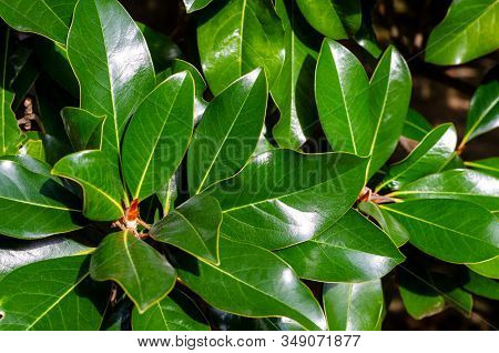 Bright Green Large Leaves Of Magnolia With A Glint Of Sunlight On The Surface. Streaks And Foliage T