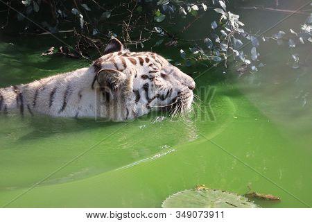 Side View Of Rare Black And White Striped Adult Tiger Swimming In Water Pond, Side View Of Rare Blac