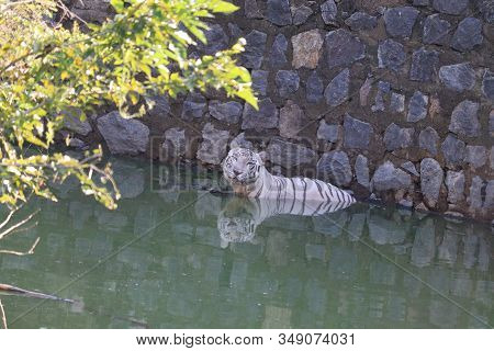 Side View Of Tiger In Water Bank In Zoo,side View Of Rare Black And White Striped Adult Tiger, Tiger