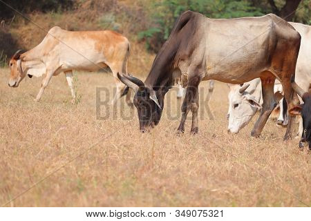 Close Up Of A Black Neck Cow In Dry Grass With Cows Background,orange Cows , Black Cows, Brown Cows,