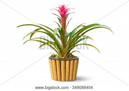 Beautiful Red Bromeliad In Bamboo Pot Isolated On White Background, Clipping Path Included.