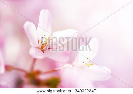 Beautiful cherry blossom, close-up, with pastel bokeh background. Yoshino Cherry.