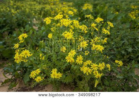 Yellow Senecio Vernalis Flowers In Bloom Close Up On A Blurred Background