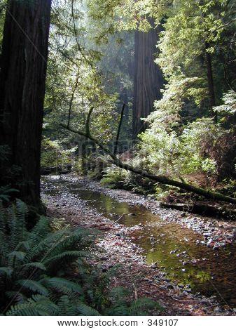 Redwood Forest Stream